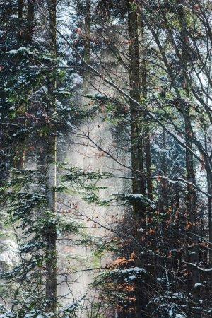 Photo pour Forêt avec soleil à travers les branches d'arbres verts et la neige - image libre de droit