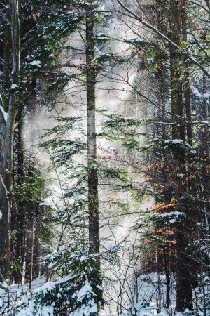 Photo pour Forêt avec soleil à travers les arbres verts et les chutes de neige - image libre de droit