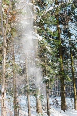 Photo pour Chute de neige dans la forêt d'hiver de pins avec soleil - image libre de droit