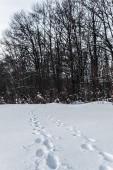 """Постер, картина, фотообои """"высокие деревья в зимнем лесу со следами на снег в Карпатских горах"""""""