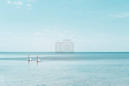 Photo for Two white swans swimming on river at sunny day - Royalty Free Image