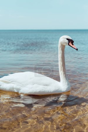 Photo pour White swan swimming on blue river at sunny day - image libre de droit