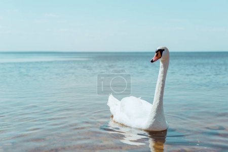 Photo pour White swan swimming on river at sunny day - image libre de droit
