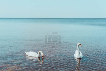 two white swans swimming on blue river