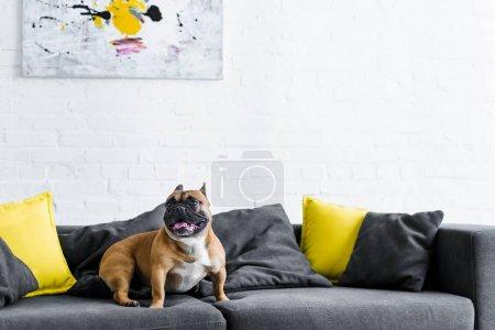 Foto de Lindo bulldog francés sentado en el sofá en la sala de estar - Imagen libre de derechos