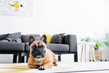 Photo for Cute french bulldog lying on floor in living room - Royalty Free Image