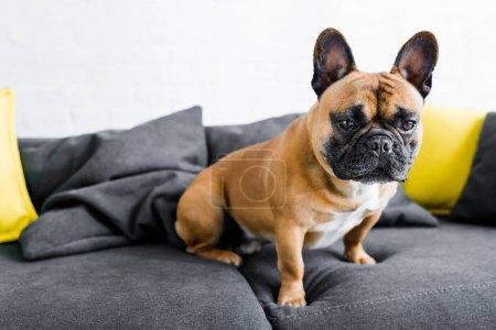 Foto de Cute bulldog sitting on sofa in living room - Imagen libre de derechos