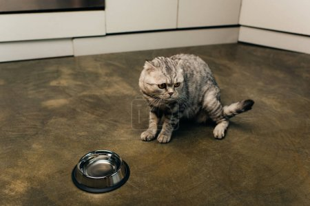 Photo for Scottish fold cat looking away near bowl in kitchen - Royalty Free Image