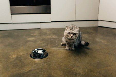Photo for Scottish fold cat looking at camera near bowl on floor in kitchen - Royalty Free Image