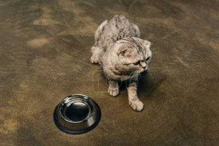 Photo for Tabby cute grey scottish fold cat near bowl on floor - Royalty Free Image
