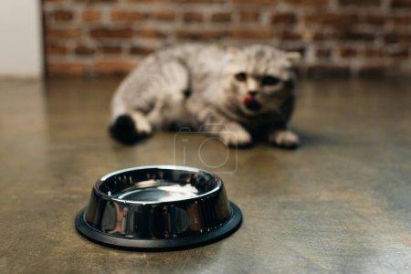 Photo pour Foyer sélectif de bol en métal près du chat pliant écossais sur le sol - image libre de droit