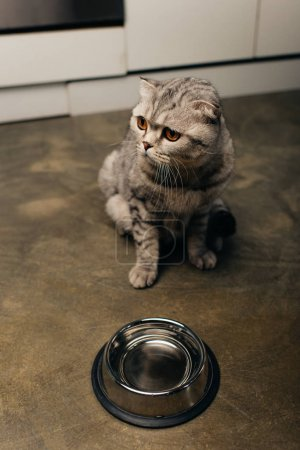 Photo for Adorable tabby grey scottish fold cat near bowl on floor - Royalty Free Image