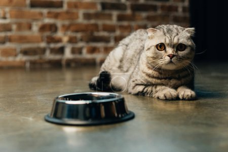 Photo for Cute tabby scottish fold cat near bowl on floor - Royalty Free Image