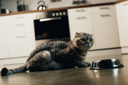 Photo pour Chat écossais gris pliant près du bol sur le sol dans la cuisine - image libre de droit