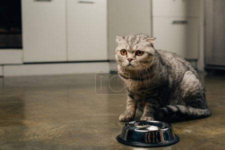 Photo for Tabby grey scottish fold cat near bowl on floor in kitchen - Royalty Free Image