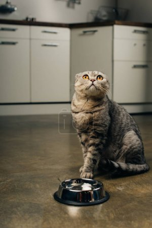 Photo for Tabby grey scottish fold cat looking up near bowl on floor in kitchen - Royalty Free Image