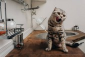 "Постер, картина, фотообои ""cute grey scottish fold cat sitting on Kitchen Counter and licking nose"""