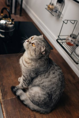 Photo for High Angle View of cute grey scottish fold cat sitting on Kitchen Counter - Royalty Free Image