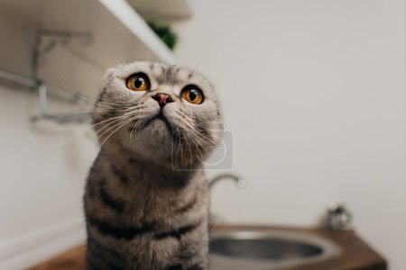 Photo for Cute scottish fold cat sitting in kitchen with copy space - Royalty Free Image