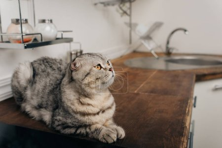 Photo for Cute grey scottish fold cat lying on Kitchen Counter - Royalty Free Image