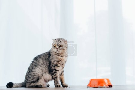 Photo for Adorable scottish fold cat sitting on table near bowl with pet food - Royalty Free Image