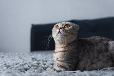 Photo for Adorable scottish fold cat sitting in bedroom and looking up - Royalty Free Image