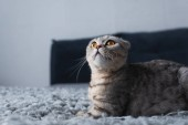 "Постер, картина, фотообои ""adorable scottish fold cat sitting in bedroom and looking up"""