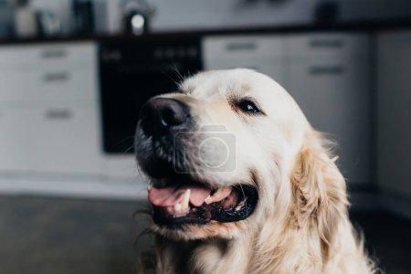 Photo for Selective focus of adorable golden retriever dog in kitchen - Royalty Free Image