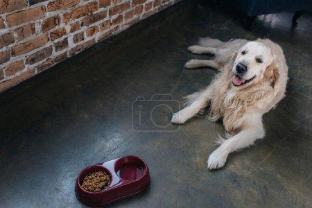 Photo pour Adorable golden retriever se trouvant près d'un bol avec de la nourriture pour animaux de compagnie à la maison - image libre de droit