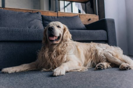 Photo for Adorable retriever sitting near couch in Living Room - Royalty Free Image