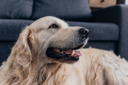 Photo for Adorable golden retriever looking away at home - Royalty Free Image