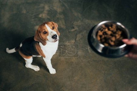 Cropped view of young woman holding bowl with pet food near adorable beagle dog