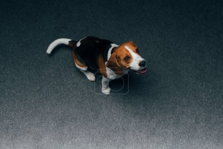 Photo for Adorable beagle dog sitting on floor at home - Royalty Free Image