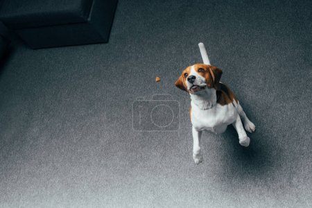 Photo for Adorable beagle dog jumping at home with copy space - Royalty Free Image