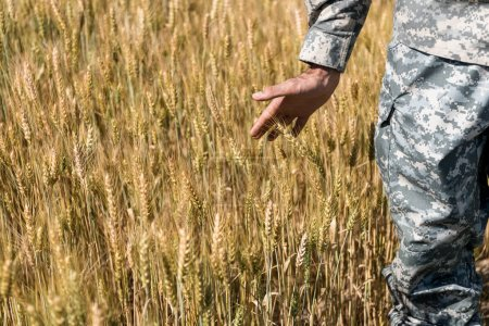 Photo for Cropped view of soldier in uniform touching wheat in field - Royalty Free Image