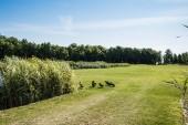 """Постер, картина, фотообои """"wild ducks walking on green grass near plants and trees """""""