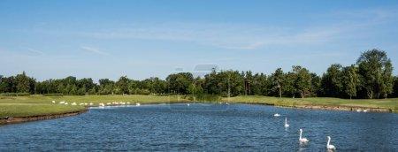Photo pour Plan panoramique de cygnes blancs nageant dans le lac près du parc verdoyant - image libre de droit