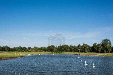 Photo pour Troupeau de cygnes blancs nageant dans le lac près du stationnement vert - image libre de droit