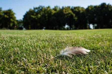Photo pour Focus sélectif de la plume sur l'herbe verte dans le stationnement en été - image libre de droit