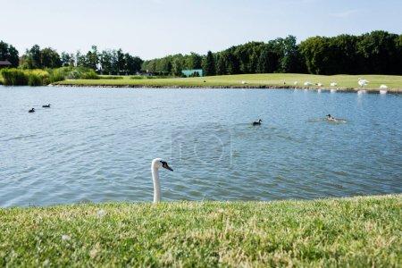 Photo pour Foyer sélectif des cygnes blancs nageant dans le lac - image libre de droit