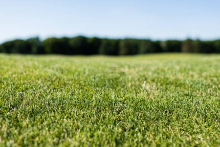 Photo for Selective focus of green fresh grass in summertime - Royalty Free Image