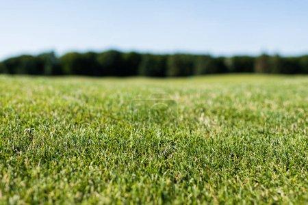 Foto de Selective focus of green fresh grass in summertime - Imagen libre de derechos