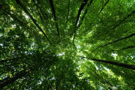 bottom view of trees with green and fresh leaves in summertime