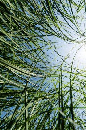 Photo pour Mise au point sélective de l'herbe verte et fraîche dans le stationnement - image libre de droit