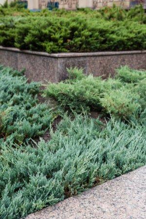 Photo pour Mise au point sélective des plants de conifères verts et frais - image libre de droit