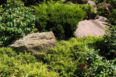 Photo pour Plantes et buissons verts de conifères avec des feuilles près des pierres - image libre de droit