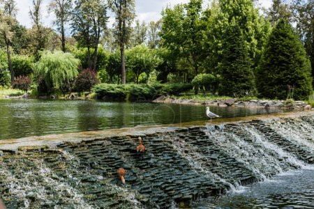 Photo pour Gulls standing on stones near flowing water in green park - image libre de droit