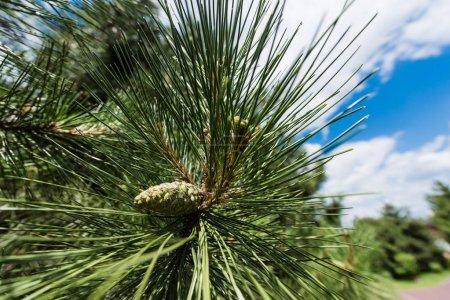Photo pour Fermer de sapin vert avec des aiguilles contre le ciel bleu - image libre de droit