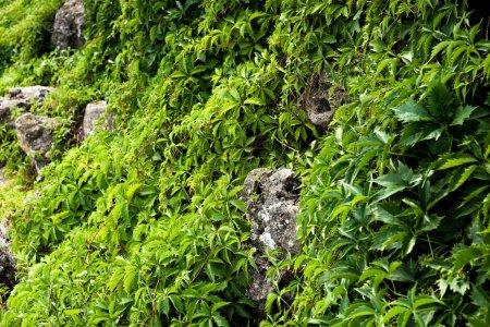 Foto de Selective focus of green fresh leaves on plants near stones - Imagen libre de derechos