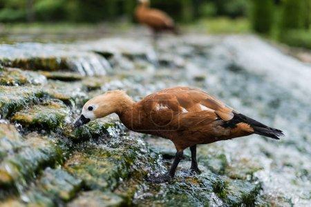 Photo pour Foyer sélectif d'oiseau sauvage restant sur des pierres dans la rivière avec l'eau coulante - image libre de droit